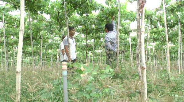 Hồ Văn Vàng thành công với cây nho trên vùng đất khô cằn Mỹ Sơn