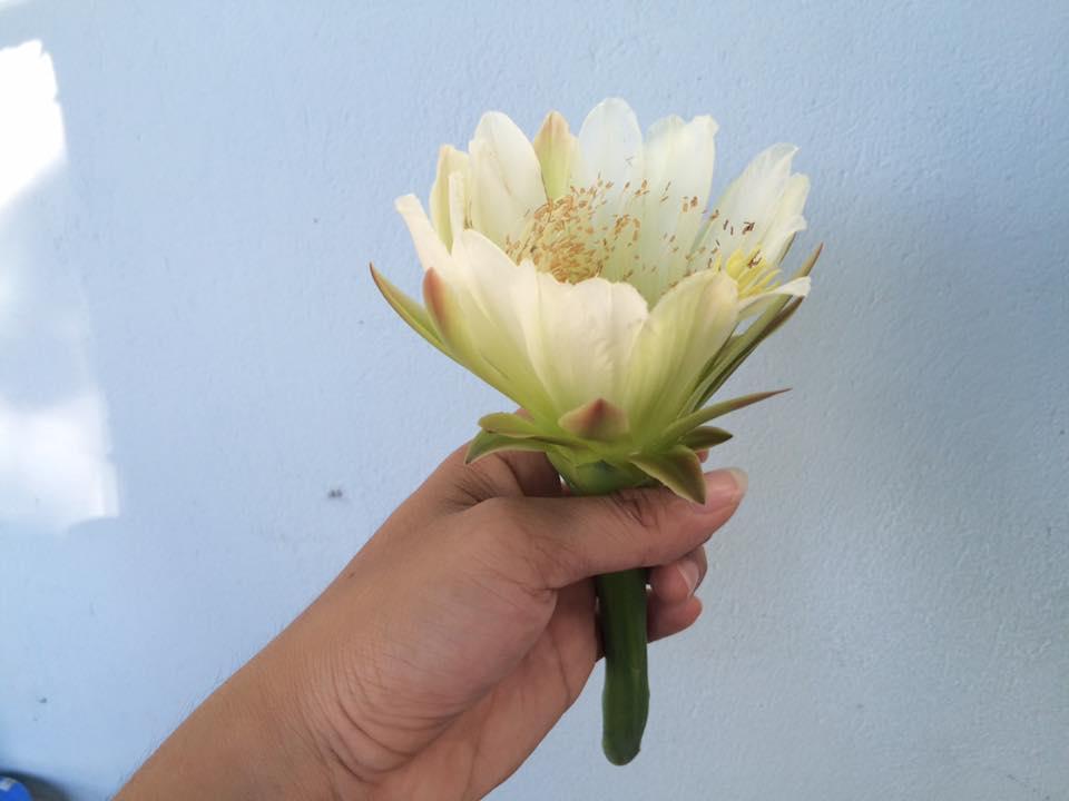 Mùa hoa xương rồng nở rộ
