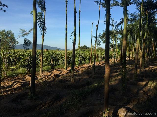 Vườn cây ăn trái sum sê xen lẫn giữa cây thanh long, các nọc trụ tiêu xanh ngát.
